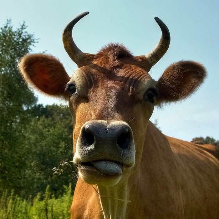 Как много девушек позировать готовы,И выбрать лучшую задача не легка,Но всех блондинок мне милей теперь коровы, Я их снимаю...  за кувшинчик молока!
