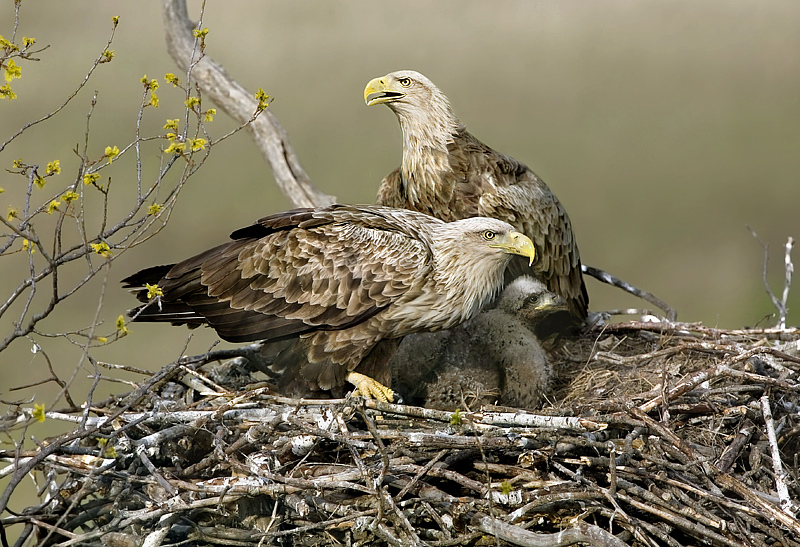 Keywords: White-tailed Eagle, Haliaeetus albicilla