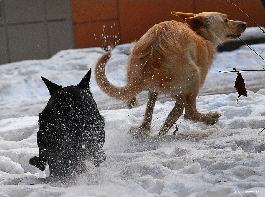 Мои собаки Наоми и Тиша.