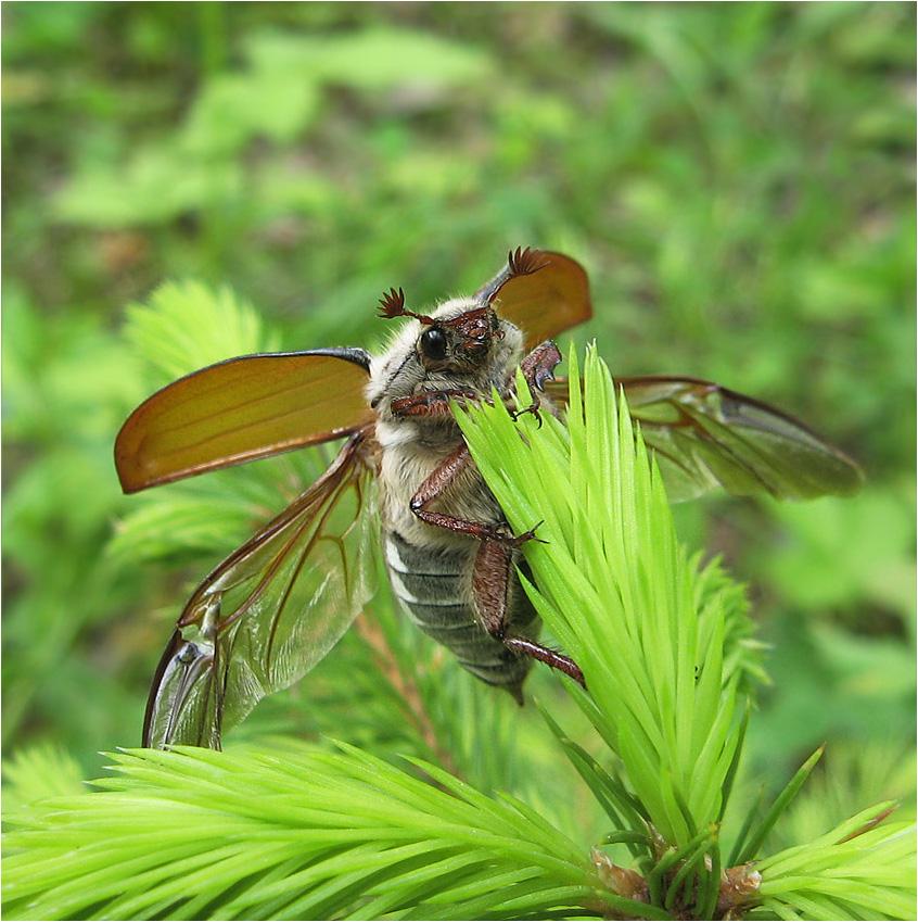 Майский жук. Весна 2008 года