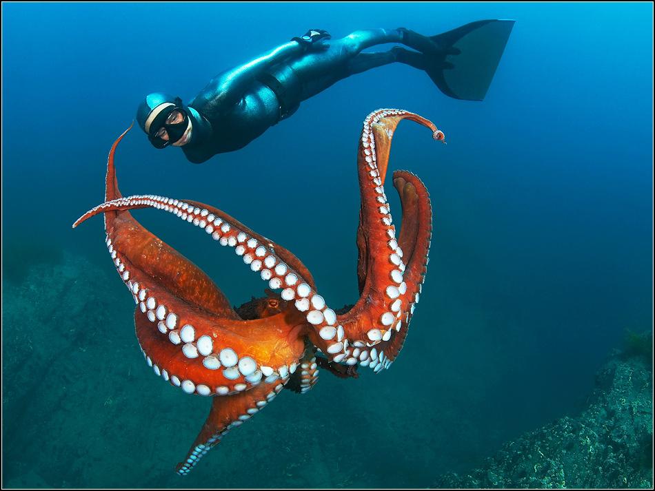 Японское море. Осьминог Дофлейна и фри-дайвинг. t воды - 4 градуса