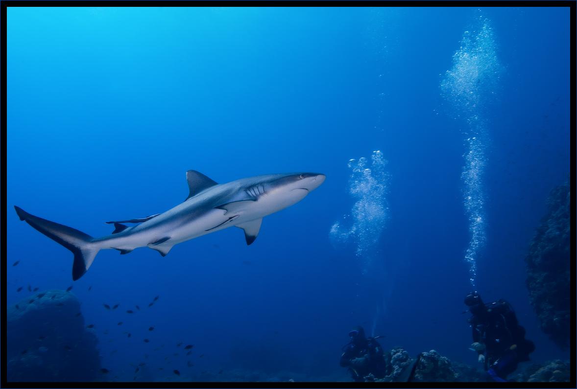 Серая рифовая акула, Шааб Руми, Красное море, Судан