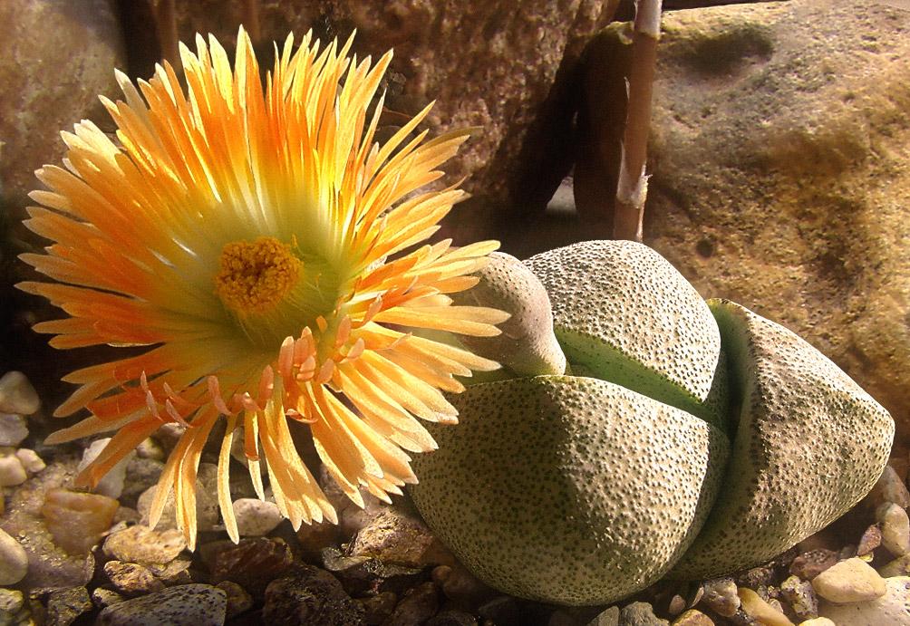 """Еще один представитель """"живых камней"""" из Южной Африки - Плейоспилос Неля (Pleiospilos nelii). Родовое название (от греческого pleio – полный и spilo – точка, пятно) подразумевает, что листья у этих растений сплошь покрыты темными точками. Вид, представленный на фото, назван в честь южноафриканского ботаника Герта Корнелиуса Неля. Произрастает в ЮАР, в пустыне Кару, возле Бофорт-Уэст. Имеет довольно меткое народное название - """"расколотый гранит""""."""