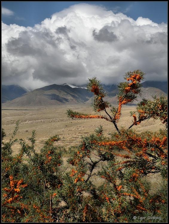 Сентярь месяц в предгорьях Тянь Шаня. Высота более 1600 метров над уровнем моря. На переднем плане чудесная ягода облепиха :)Киргизия.