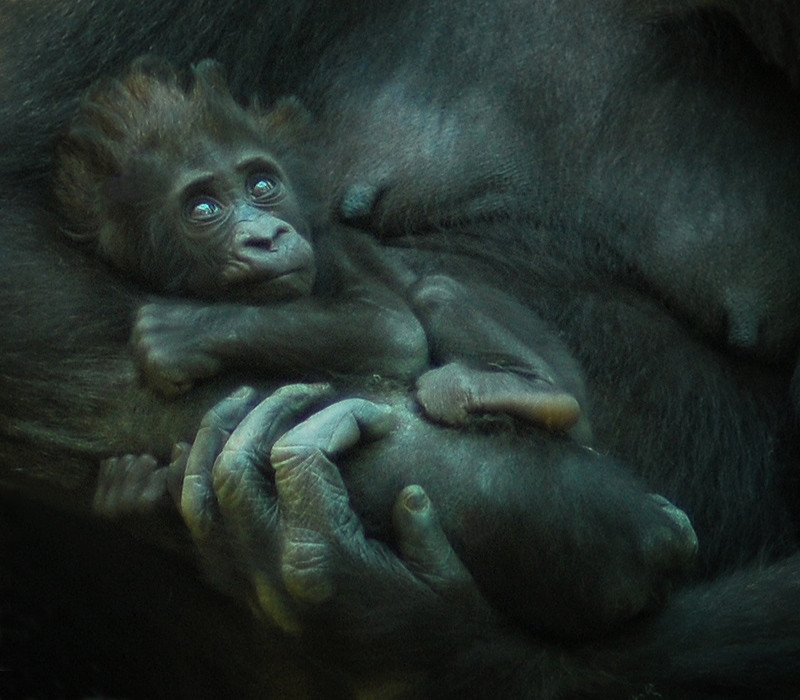 Снимок сделан через стекло вальера.Мама с малышом находилась примерно метрах в 10 от места съёмки.