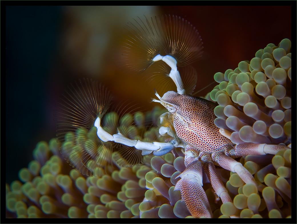 Фарфоровые крабики (Porcellanidae размер около 2см) ритмично двигают веерами-фильтрами улавливая мелкую добычу, которую затем отцеживают в рот.Индонезия, о-в Ломбок