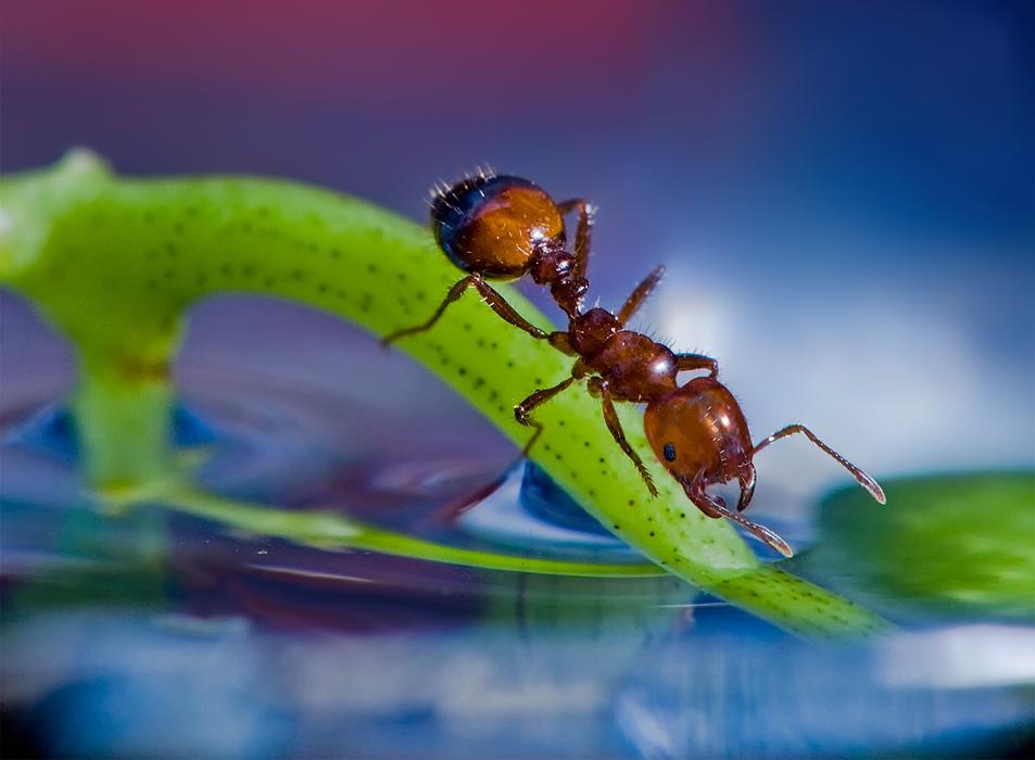 Муравей в цветном мире (скорректированная версия ранее выставлявшейся работы)макро - муравей - веточка - вода - листок