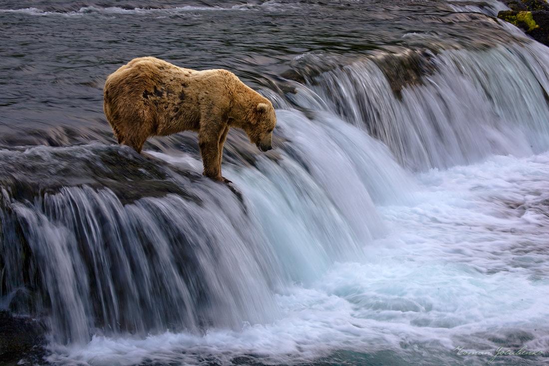 Клёва не было. Все медведи разбрелись, Только один бедолага остался в надежде поймать загулявшего вечерком лосося.... :)( Надо сказать, что топать с вечерней съёмки в сумерках по лесу, где косяками бродят медведи, обратно в лагерь удовольствие ещё то... :)