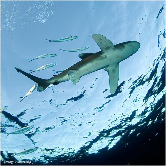 Красное море. Океаническая длинноплавниковая акула-рейдер лонгиманус и ее почетный эскорт халявщиков.