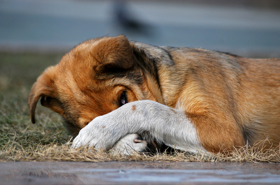 собака глаз подглядывание лапы