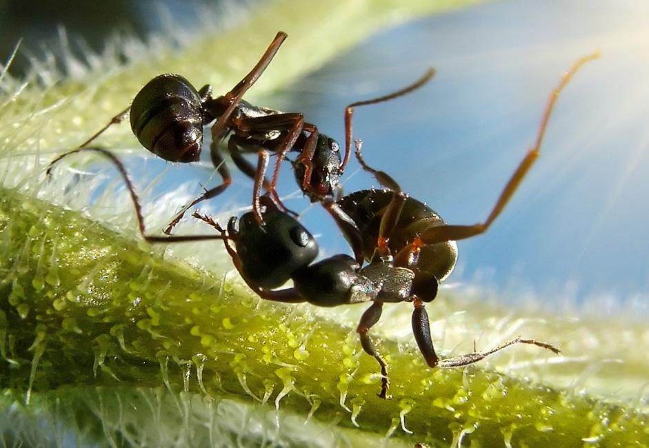 две банды муравьев воюют за куст земляной груши (ее божественный нектар)... схватки (не смертельные) длятся от рассвета до закака... 4-мм сластены мутузят друг дружку с бешенной скоростью - 1/500 не заморозить движение...