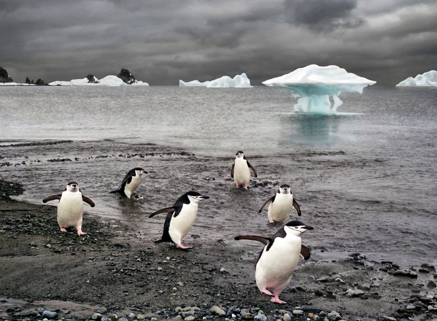 обмылок айсберга оказался на отмели, и с него сошла команда...а может это и не льдина?...P.S. полярники называют этих пингвинов полицейскими за каску с ремешком... а ремешок, говорят, - чтобы клюв не разевал :)))