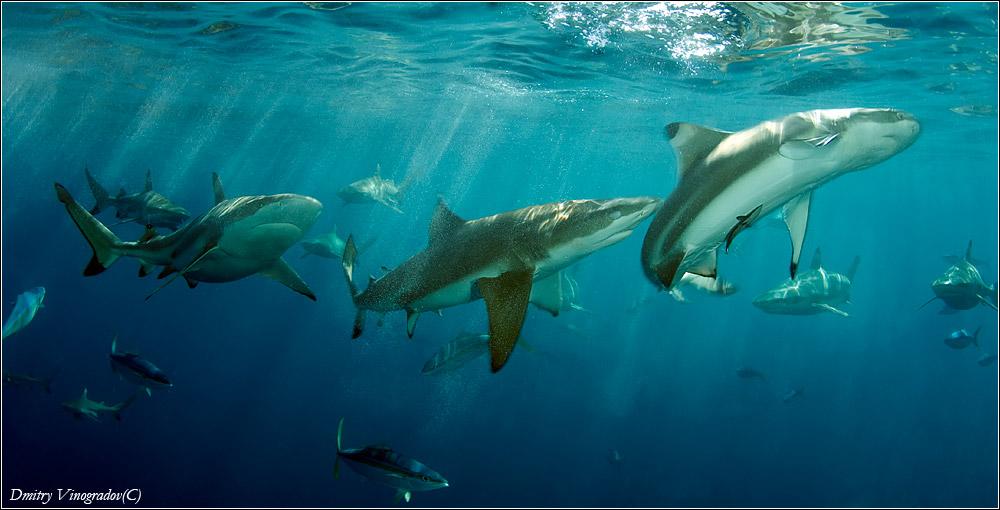 Микронезия. Палау. Стая черноперых рифовых акул.