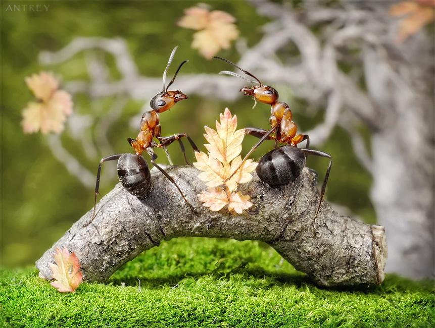 обычно самки и самцы муравьёв носят крылья, но есть и бескрылые формы...вобщем, так начиналась история одного муравейника...)