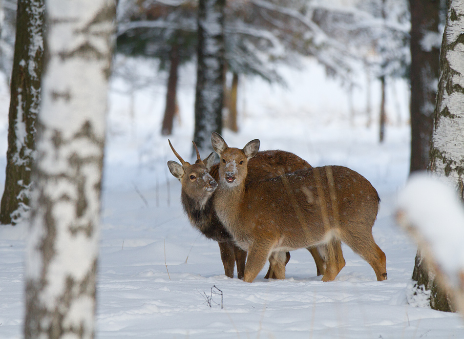 Бемби и Фалина :)Снято в национальном парке Лосиный остров
