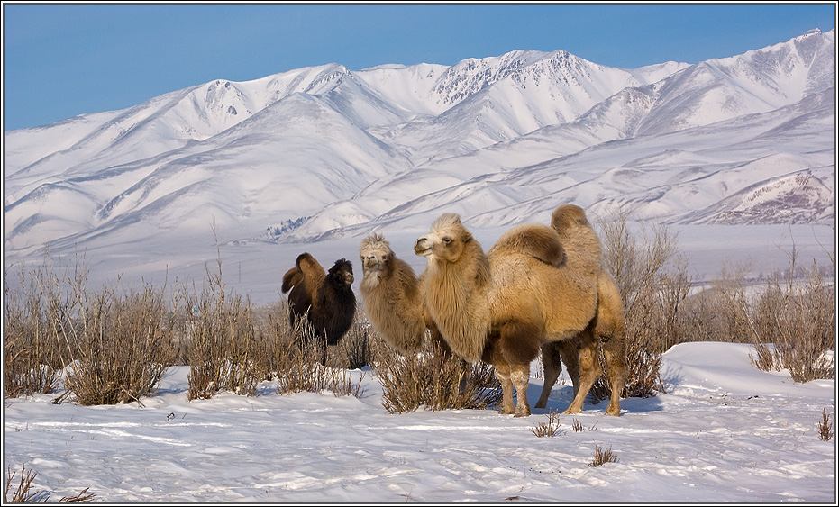 Приглашаем с нами в фото-экспедиции по Алтаю - http://altai-photo.ru/dir/Алтай. Чуйская степь, январь.Разведение верблюдов на Алтае идёт в самом высокогорном районе – Кош-Агачском.