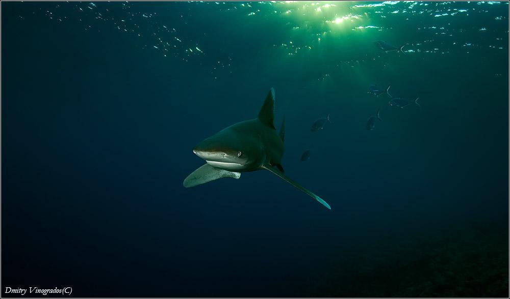 Красное море. Длинноплавниковая акула Лонгиманус перед атакой.