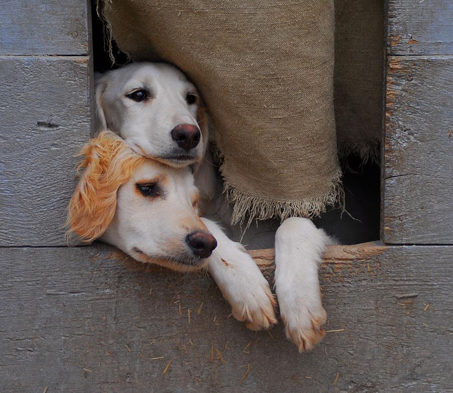 """Казахская борзая - тазы. Очень ценная исчезающая порода: один щенок стоит несколько тысяч долларов. Снято вчера в питомнике """"Сункар"""" под Алма-Атой."""