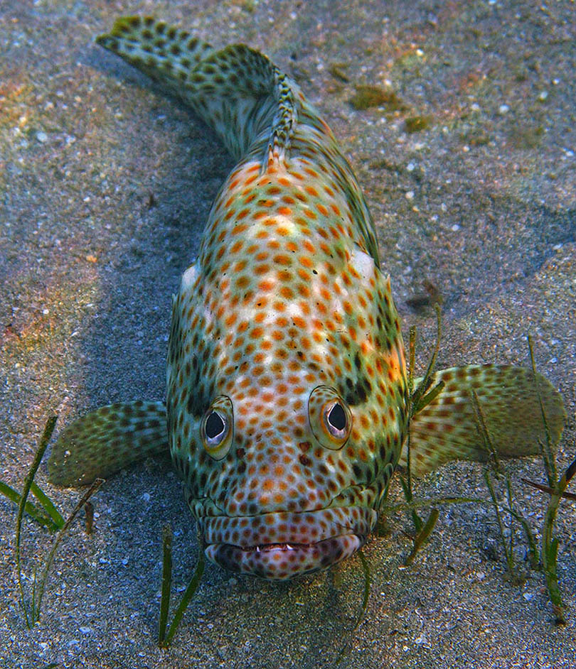 Групер Таувина -  (Epinephelus tauvina) - это небольшой (до 70 см длины) групер (каменный окунь), обитатель коралловых рифов. Его часто можно увидеть, отдыхающим в укромных местах на рифе. Питается некрупной рыбой.Групер Таувина, Красное море
