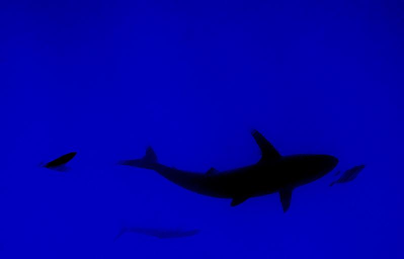 Акула шелковая на Малом брате. Снимал с зодиака на задержке