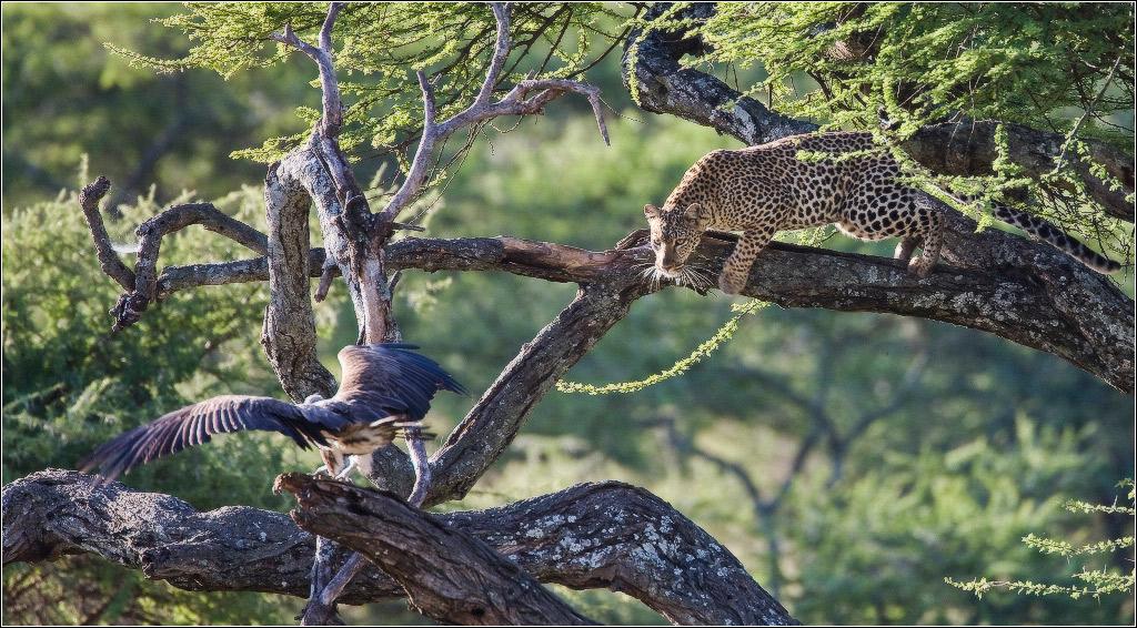 Леопард, однако