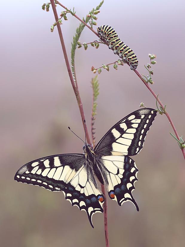 махаон - бабочка и гусеница...