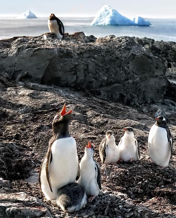 эти птицы передают своё вокальное мастерство скрежетать ИА-ИА по наследству, балдеют от собственного исполнения и возмущаются, почему необразованные люди называют их ослиными пингвинами, ведь научное название звучит гордо Папуа! ну почти Паваротти)
