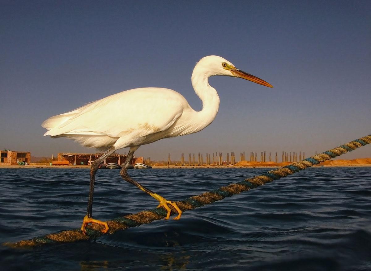Рифовая Белая ЦапляМарса Алам, Египет, Красное море