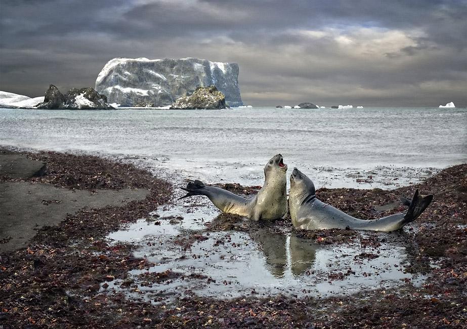 морские слоны вырастают до 6,5 метров, весят до 3,5 тонн, а брачные песни слышны ну о-о-очень далеко))о. Кинг-Джордж, Антарктика