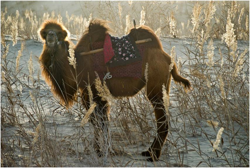 Это был удивительный верблюд. Он любил фотографироваться! Стоило на него навести объектив, как он с кряхтеньем вставал и тут же начинал принимать эффектную позу. Отгадка пришла позже, когда погонщик потребовал от нас мзду за съемку. Получив деньги, он что-то вытащил из наплечного мешка и сунул в пасть верблюда. Животное с удовольствием принялось это что-то жевать.