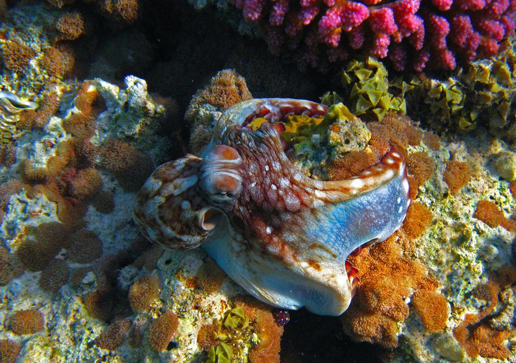 """""""Показательные выступления Осьминога""""... под музыку...http://www.youtube.com/watch?v=6eV3qbWnoTsОсьминог, Красное море"""