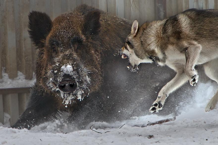 ни одно животное не пострадало-Яша просто подъедается из собачьих мисок и им это не нравится