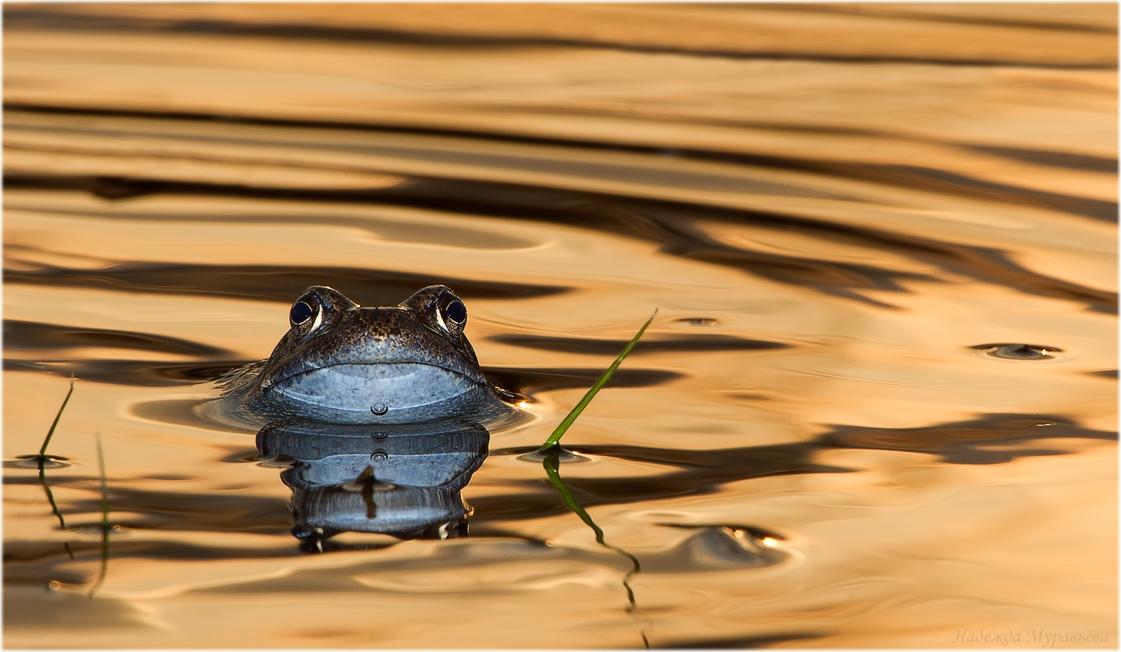 Травяная лягушка самец Rana Temporaria