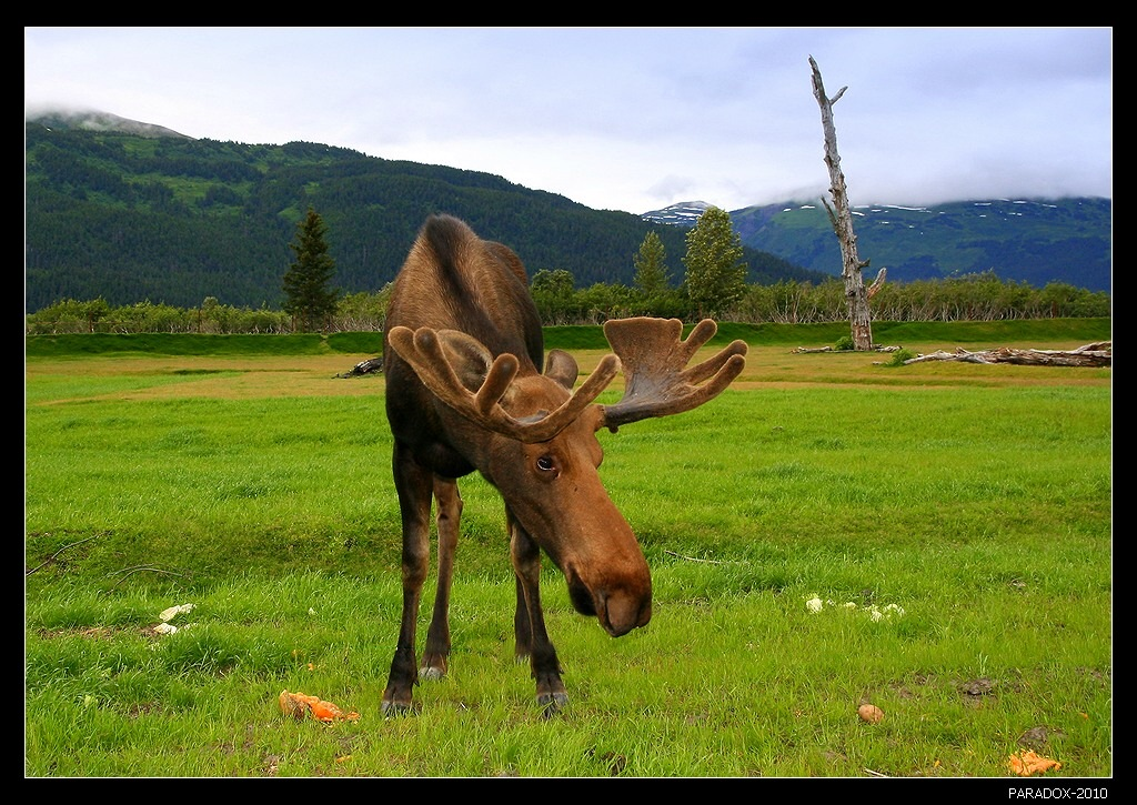 * * *Судья:-- Почему вы выстрелили в этого человека?-- Я подумал, что это лось.-- Когда вы поняли обратное?-- Когда лось начал отстреливаться.* * *Аляскинский лось - самый крупный подвид оленей с наиболее мощными рогами. Вес может достигать 655 кг, а длина - трех метров.Аляска. Полуостров Кенай.