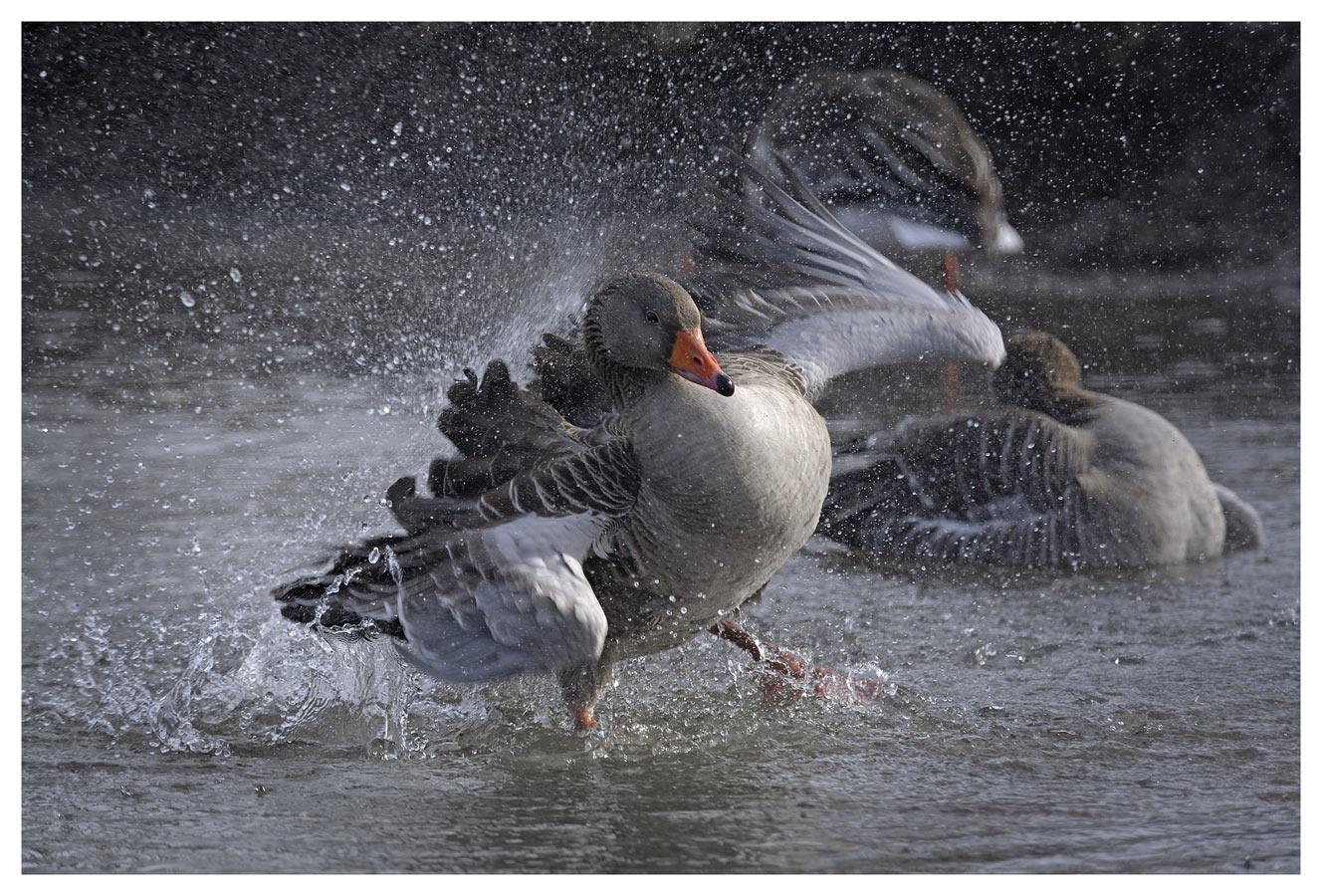 Дикий серый гусь (Anser anser)Нидерланды