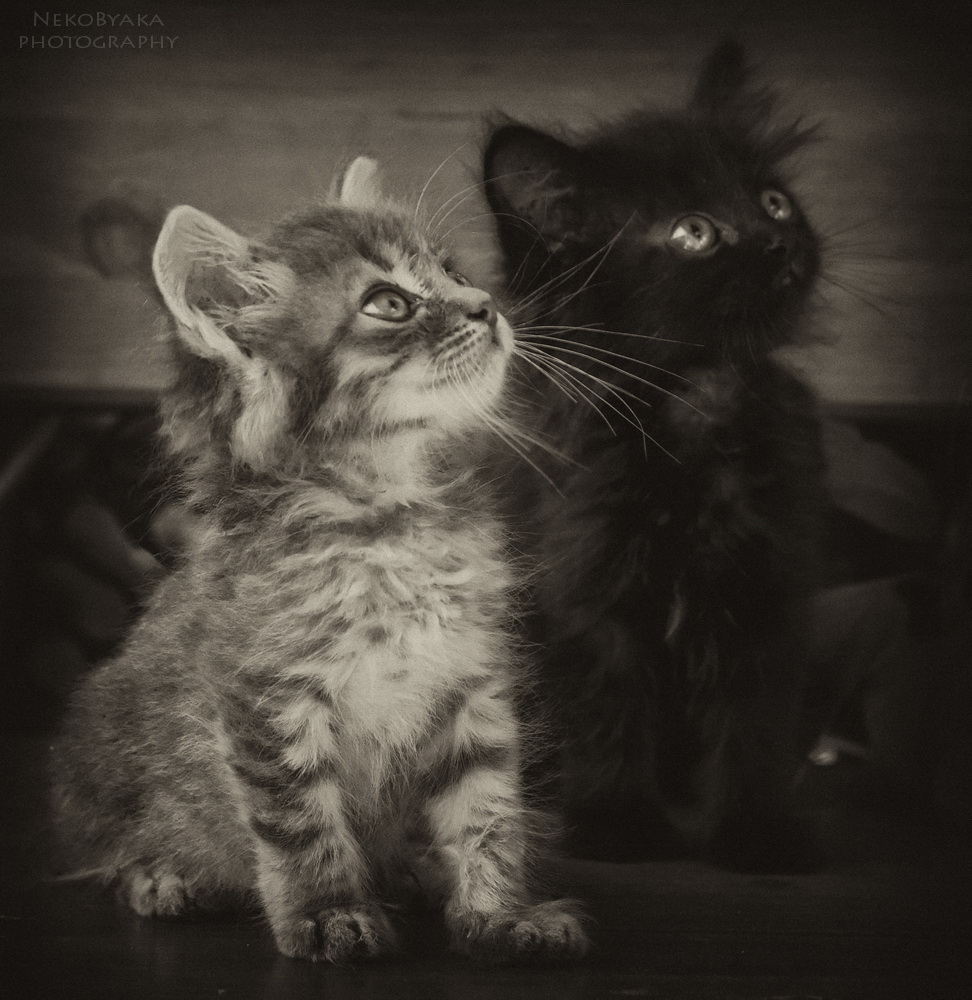 cats   коты   котята   черый   серый   полосатый   kittens   black   gray   striped   двое   two   братья   brothers   маленькие   small   pets   domestic   animals