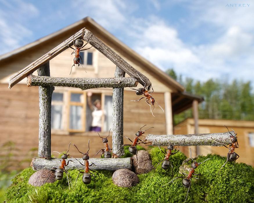 в наших Карельских краях люди и муравьи строятся бок о бок... у соседа пень с семьёй рыжих лесных formica rufa работает частью забора  :)