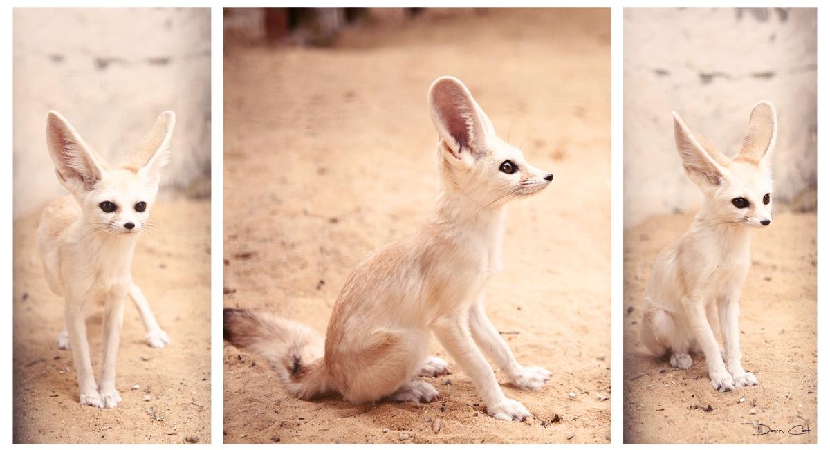 Фенек - пустынная лисичкаТунис