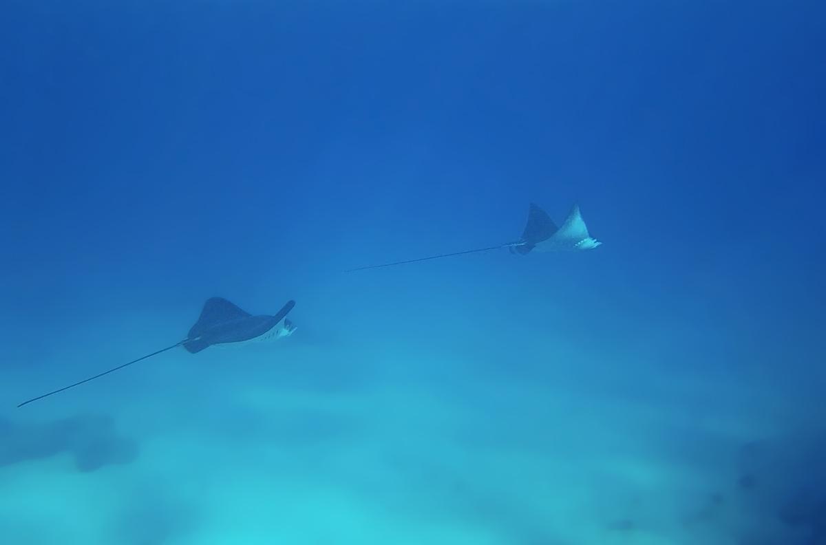 Орляковые (лат. Myliobatidae) — семейство крупных скатов, обитающих в отличие от своих сородичей не вдоль морского дна,а свободно плавающих в открытом море. Орляковые передвигаются с помощью волнистых движений своих плавников.Пятнистый Орляк (Aetobatus), Красное море