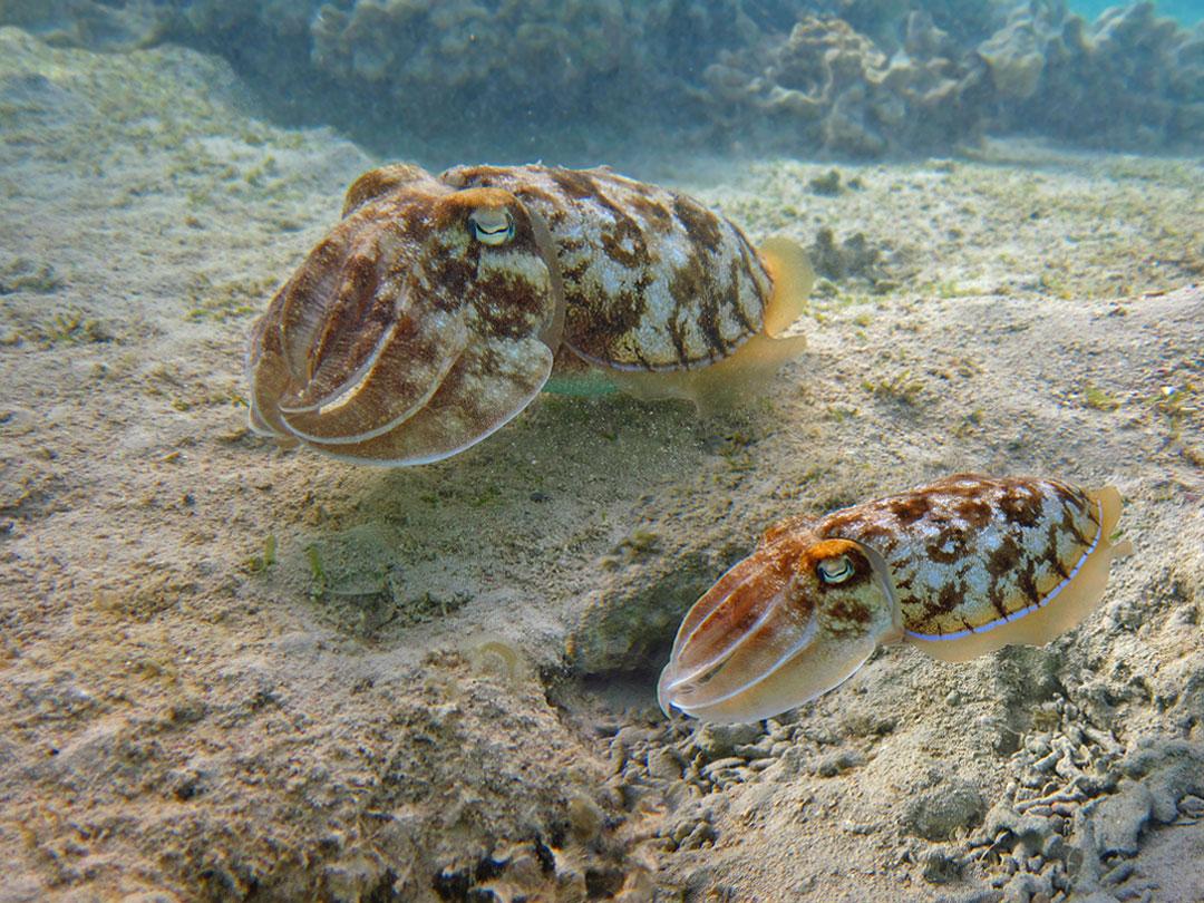 Фараонова Каракатица, Красное море
