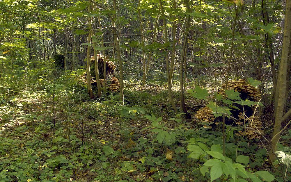 Вот такие колонии опят встречаются в глухих местах Калужской обл.