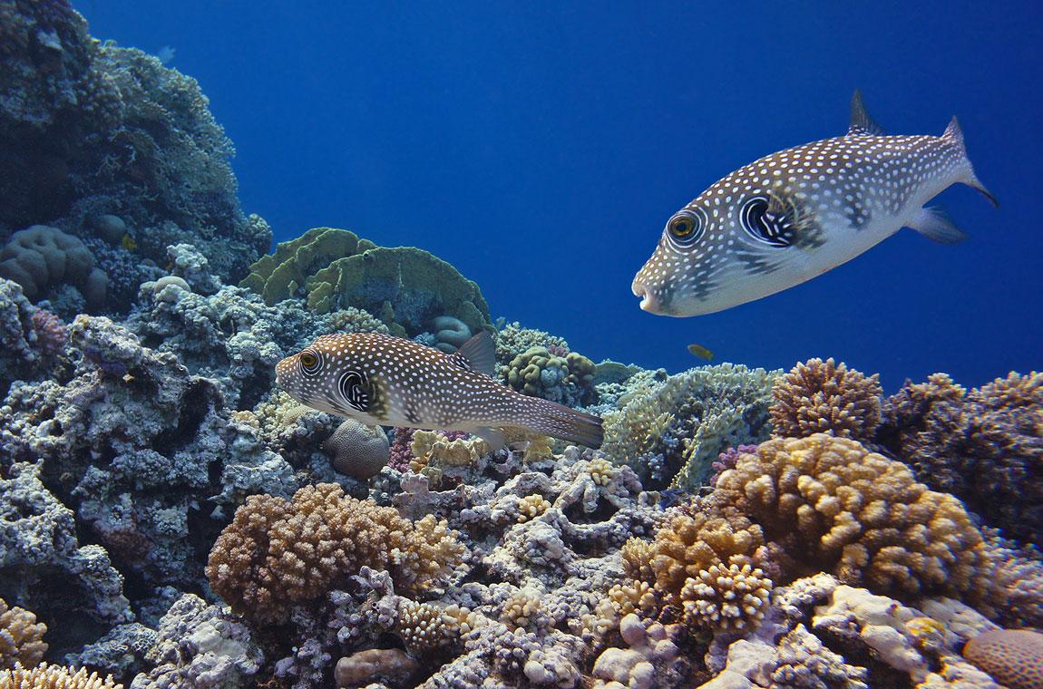 Название рыбы- Колючий Аротрон. Шипы появляются, когда рыбка рассержена или напугана.Здесь, видимо, обе в благодушном настроении, потому и колючки спрятаны.Колючий Аротрон, Красное море