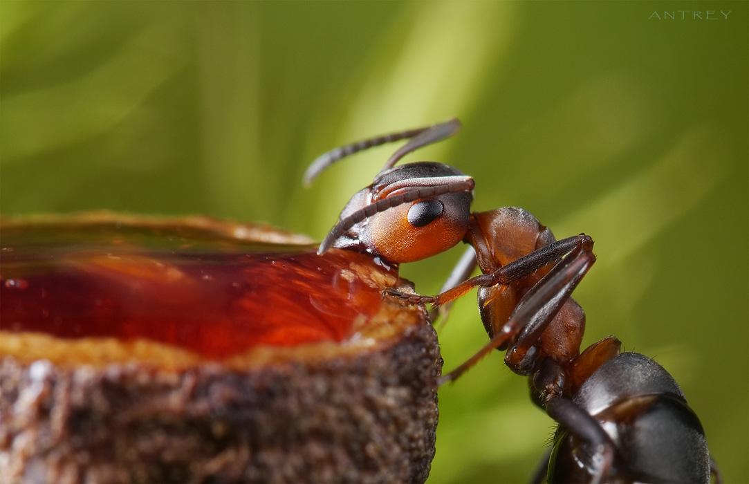 Каких-то особых предпочтений не заметил - одинаково хорошо идёт и малиновый, и клубничный сироп.Угощение - только после съёмки, хороший артист - голодный артист. Наевшийся будет пытаться улизнуть в муравейник, отнести наетое непосильным трудом:) , тут уже не до игры.