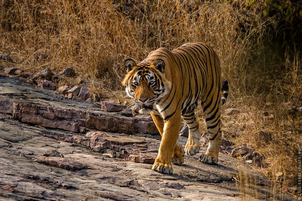 Panthera tigris tigrisИндия