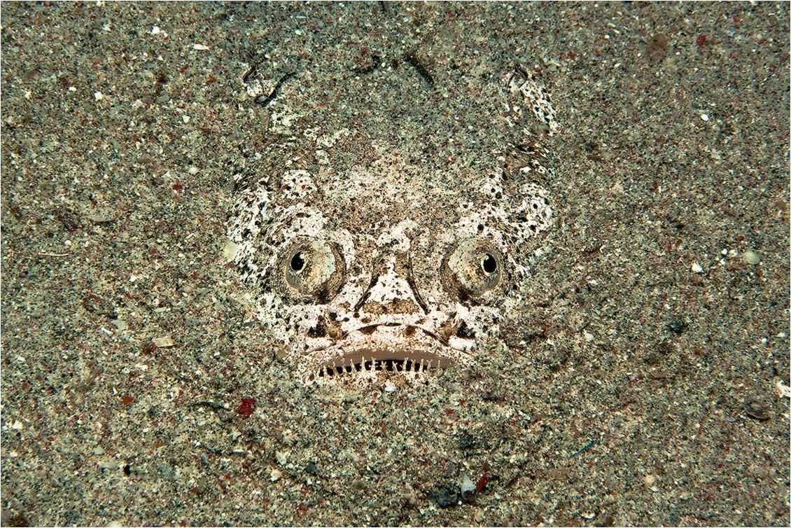 Эта рыба зарывается в песок по самые глаза и оттуда мечтательно и неотрывно смотрит в небо. За такое странное поведение ее и прозвали звездочетом.