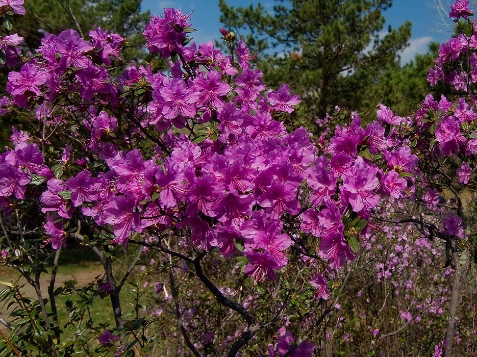 Весна приходит на Алтай когда зацветает багульник. Склоны гор заливает красной и розовой краской, миллионы миллионов цветов распускаются на скалах, и сигнализируют - Весна пришла.Полная информация о майской фото-экспедиции по Алтаю http://www.altai-photo.ru/dir/altai_2013/cvetushhij_altaj_2013/1-1-0-32 Идёт набор участников, приглашаем фотографов и туристов.