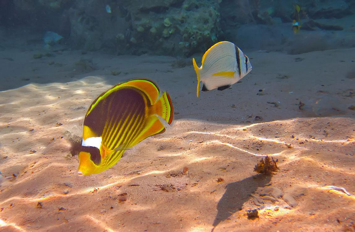 Полосатая Рыба- Бабочка и Чернополосый Морской КарасьКрасное море