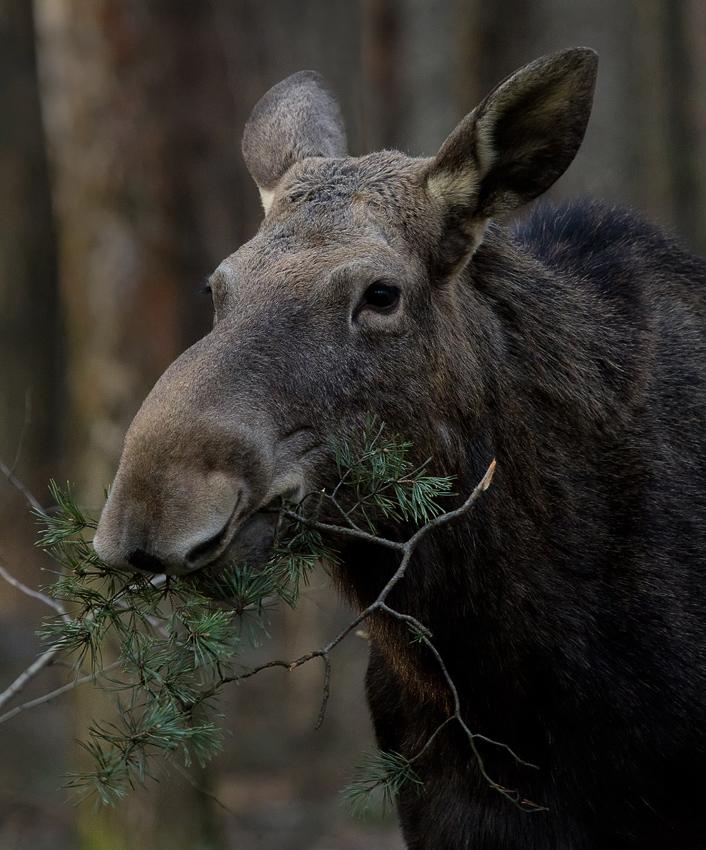 В подмосковном лесу. В коре хвойных деревьев и иголках много витамина С - лось не понаслышке знает о здоровом образе питания :)