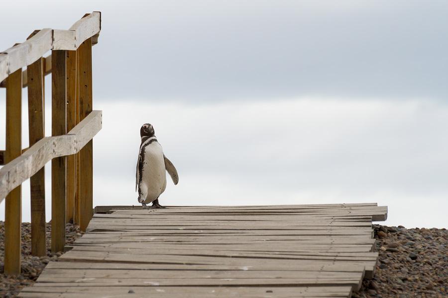 Punta Tombo, АргентинаСамая большая колония магеллановых пингвинов в мире (до миллиона особей)