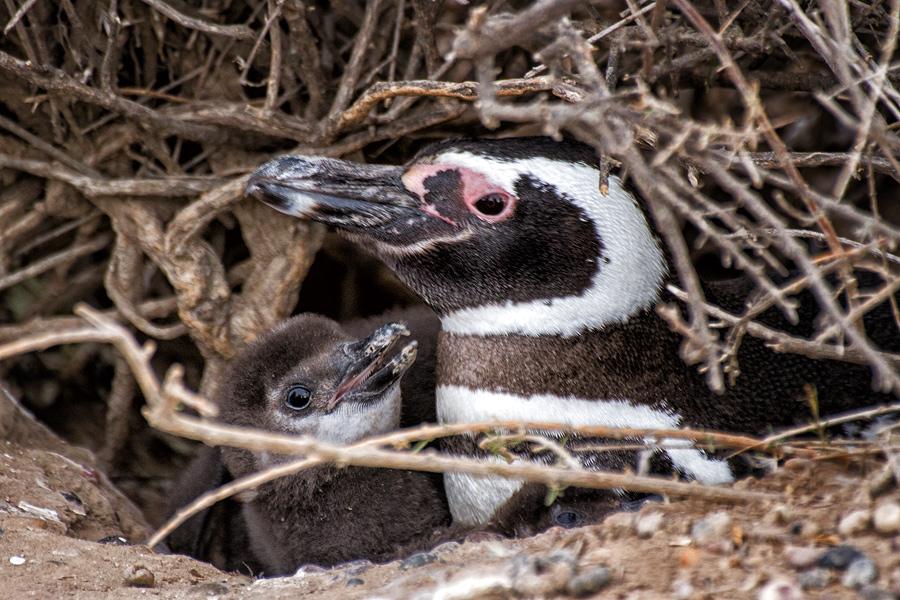 Семейство магеллановых пингвинов на полуострове Пунта Томбо, провинция Чубут, Аргентина